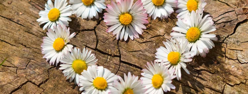 Gesunde Ernährung für die Augen –Gänseblümchen